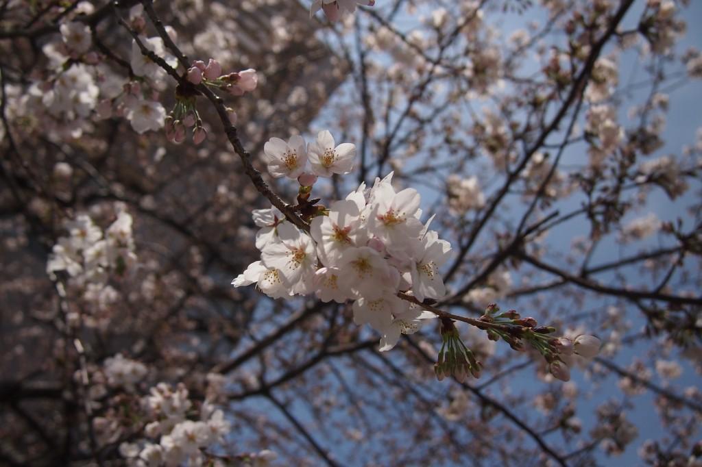 桜 2014 03 29