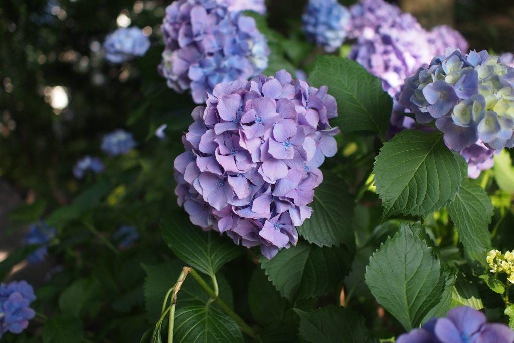 紫陽花 2016 06 14